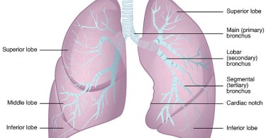 Difference Between Right and Left Lung