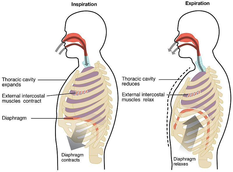 Difference Between Ventilation and Respiration