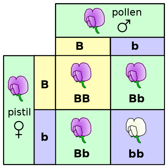 Difference Between Allele and Trait