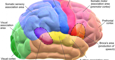 Difference Between Cerebrum and Cerebral Cortex - 1