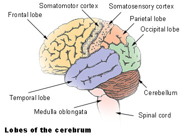 Learn brain areas of control