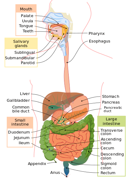 Main Difference - Cow vs Human Digestive System