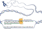 Difference Between DNA and RNA Polymerase