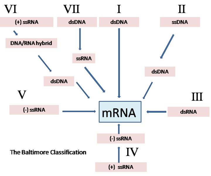 Main Difference - DNA vs RNA Viruses