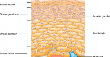 Difference Between Dermis and Epidermis