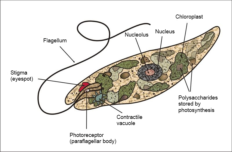 Difference between euglena and paramecium definition structure difference between euglena and paramecium ccuart Images