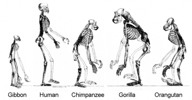 Difference Between Hominid and Hominin