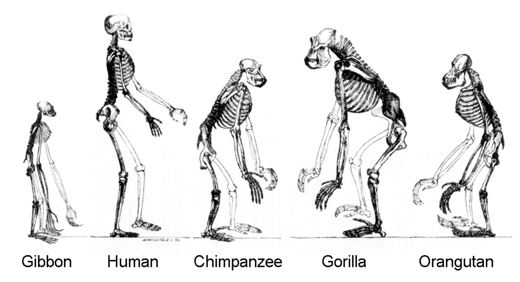 difference between hominid and hominin definition apes features