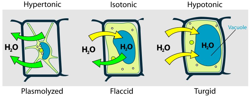 Difference Between Isotonic Hypotonic and Hypertonic