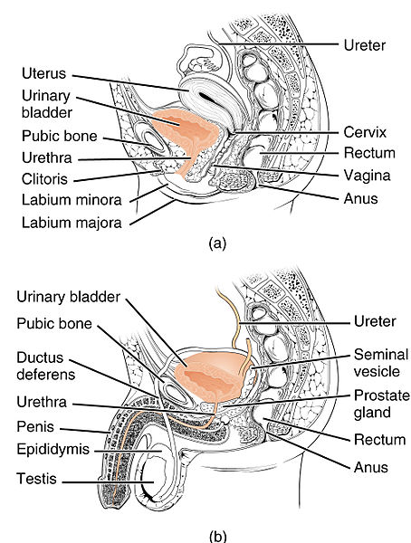 Difference Between Male And Female Urethra Definition Length