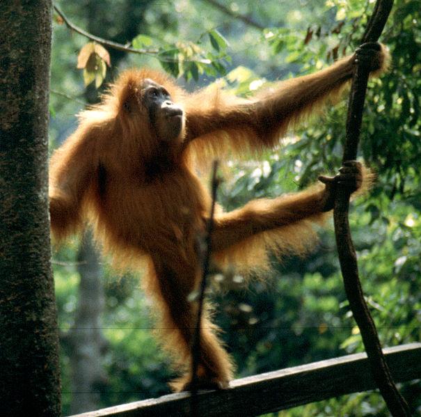 Main Difference - Monkey vs Ape