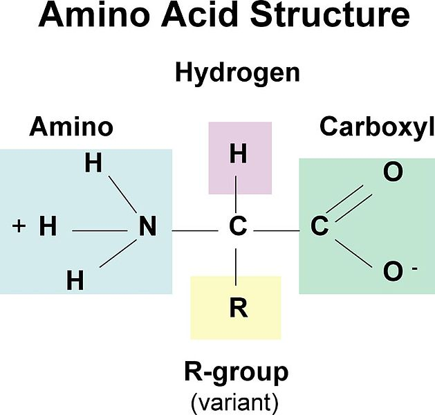 Difference Between Nucleic Acid and Amino Acid