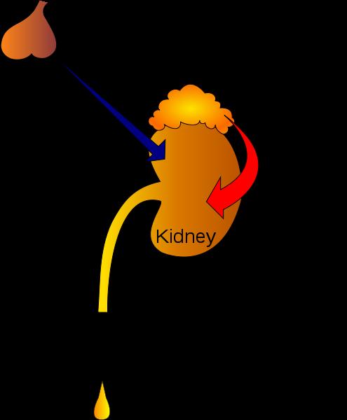 Main Difference -  ADH vs Aldosterone