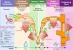Difference Between ADH and Aldosterone