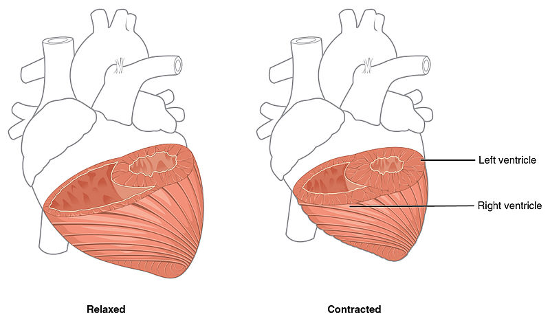 Main Difference - Auricle vs Ventricle