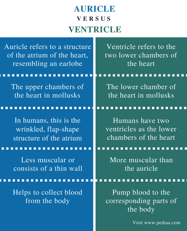 Difference Between Auricle and Ventricle - Comparison Summary