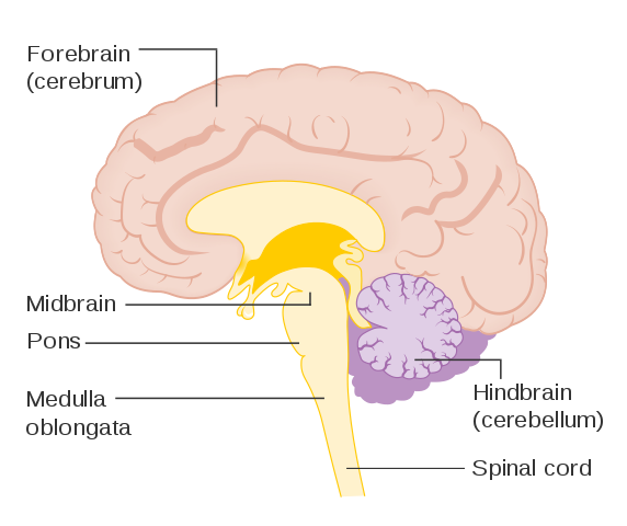 Main Difference - Brainstem vs Spinal Cord