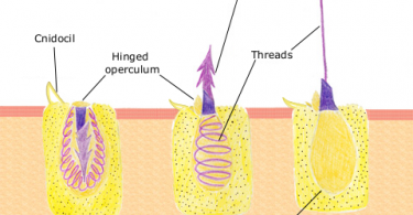 Difference Between Cnidocyte and Nematocyst