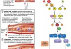 Difference Between Hemostasis and Homeostasis