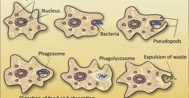 Difference Between Intracellular and Extracellular Digestion