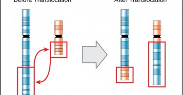 Difference Between Inversion and Translocation