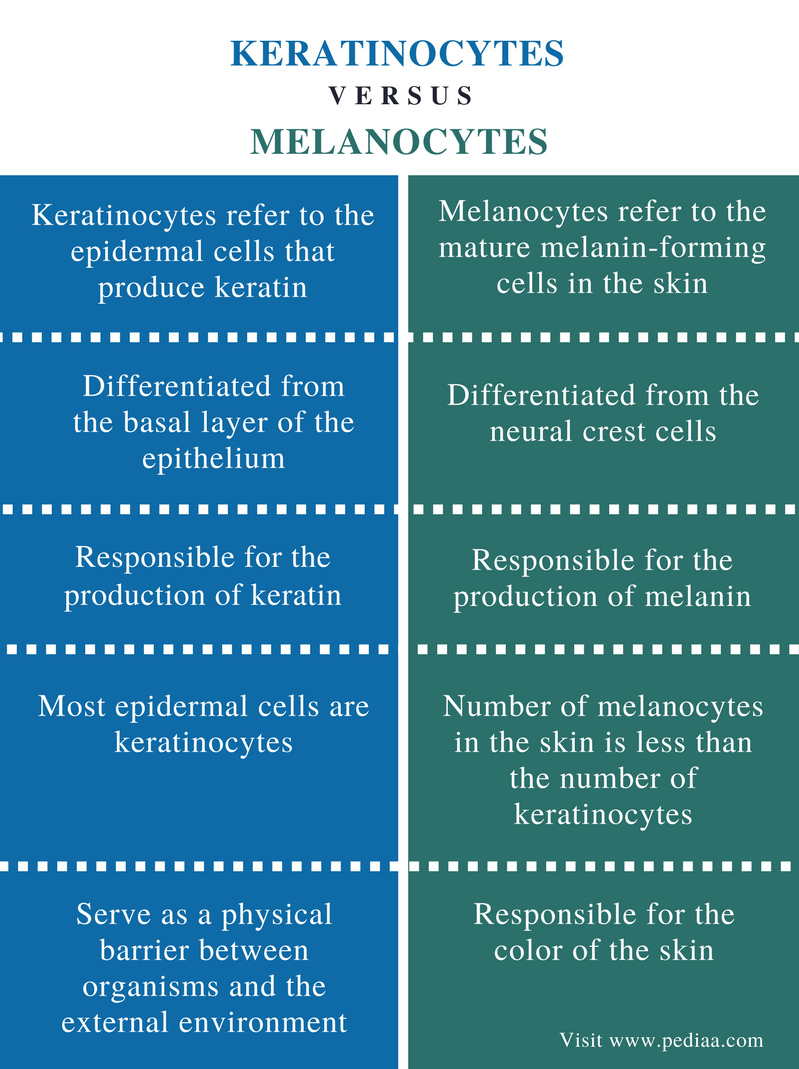 Difference Between Keratinocytes And Melanocytes Definition
