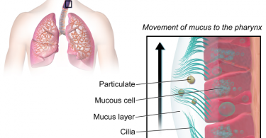 Difference Between Mucus and Phlegm