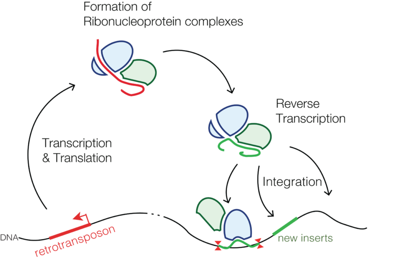 Difference Between Plasmid and Transposon