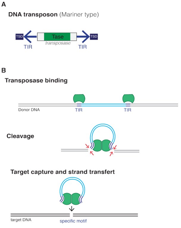Difference Between Plasmid and Transposon_Figure 6