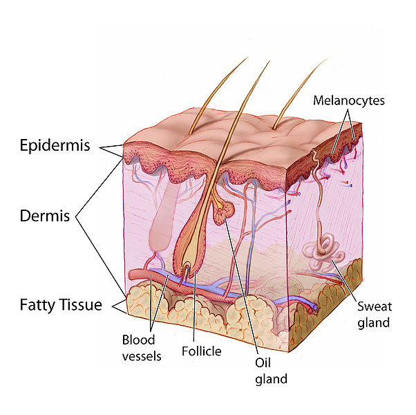 Main Difference -  Sebaceous Glands vs  Sweat Glands