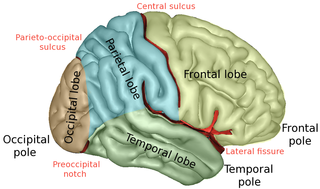 Difference Between Sulcus and Fissure | Definition, Facts, Types ...