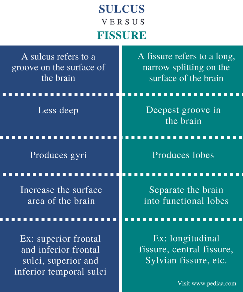 Difference Between Sulcus and Fissure - Comparison Summary