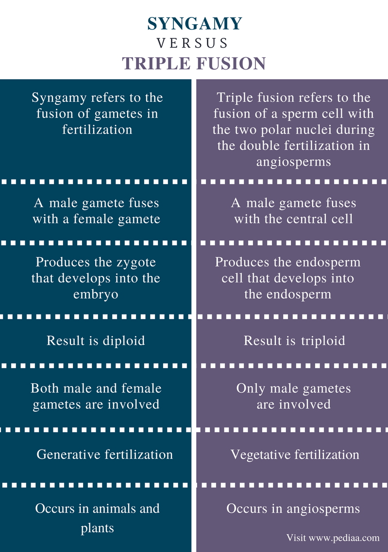 Difference Between Syngamy and Triple Fusion - Comparison Summary
