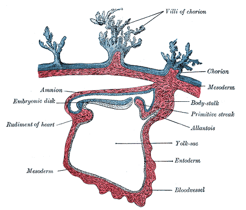 Difference Between Trophoblast and Inner Cells Mass_Figure 3