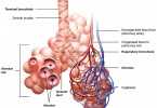 Difference Between Alveoli and Nephron