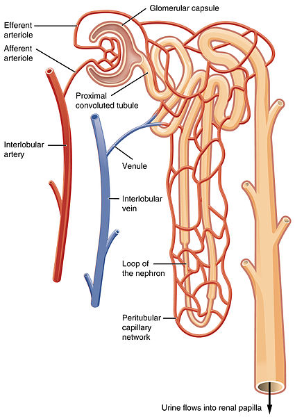 Difference Between Alveoli And Nephron Definition Structure