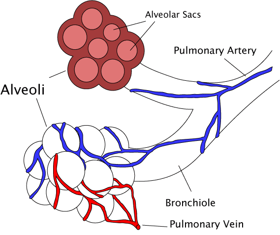 Main Difference - Bronchi vs Bronchioles