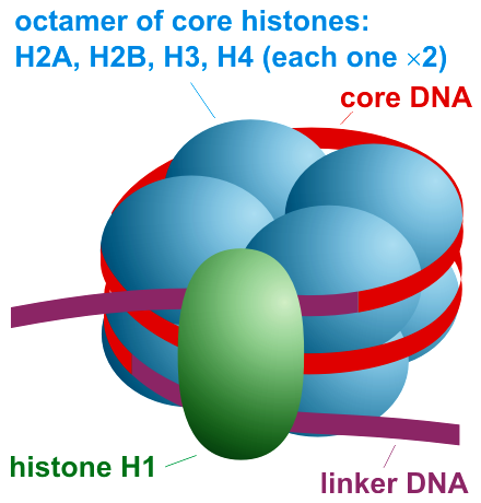 Main Difference - Chromatin vs Nucleosome