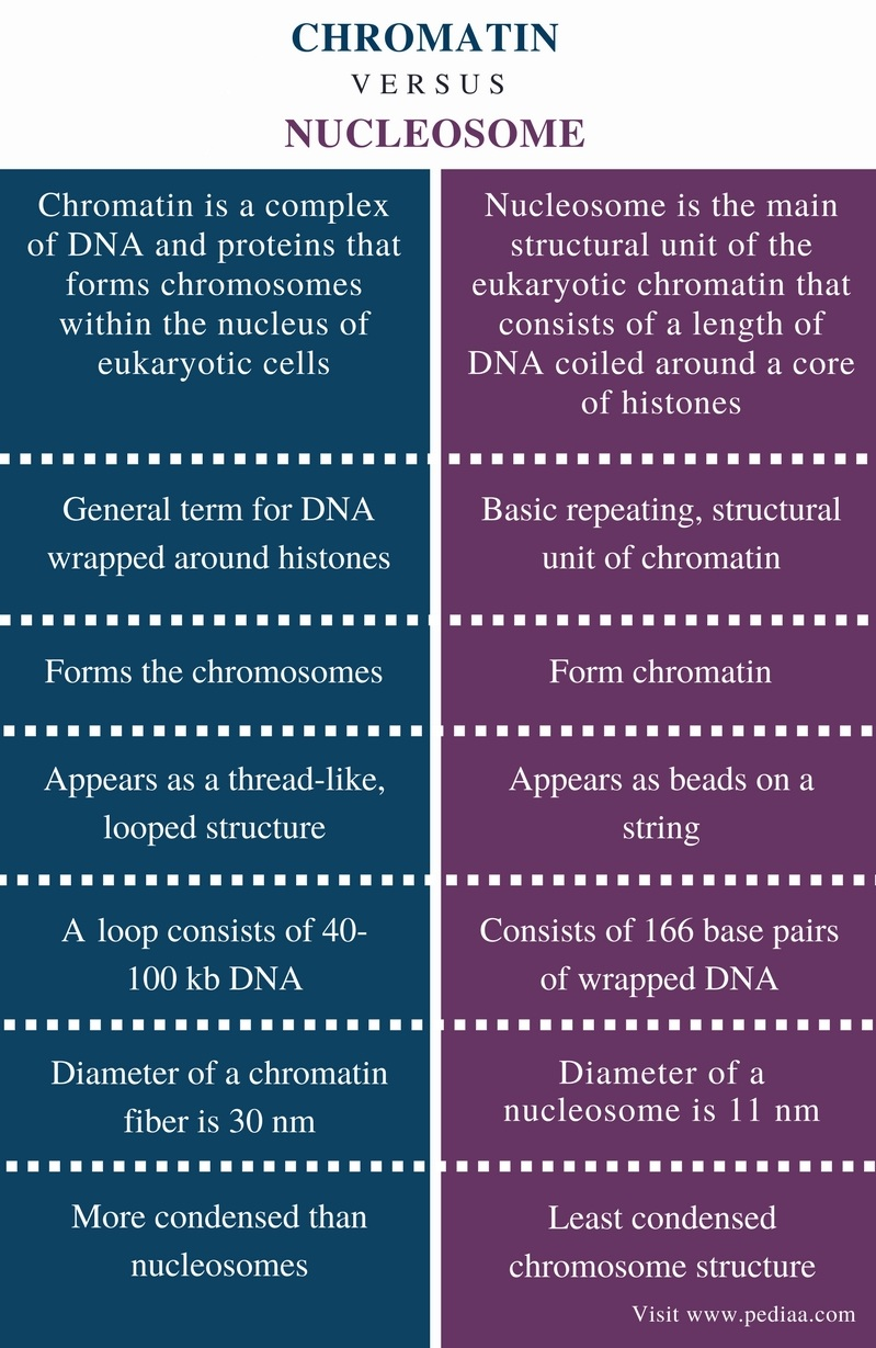 Difference Between Chromatin and Nucleosome - Comparison Summary