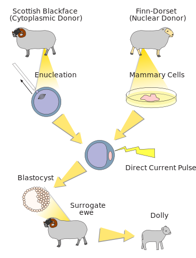 Difference Between Cloning and Genetic Engineering_Figure 3