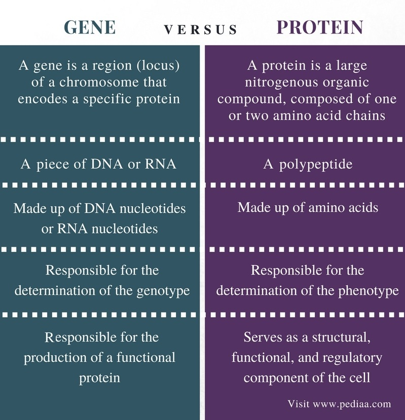 Difference Between Gene and Protein - Comparison Summary