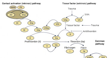 Difference Between Intrinsic and Extrinsic Pathway