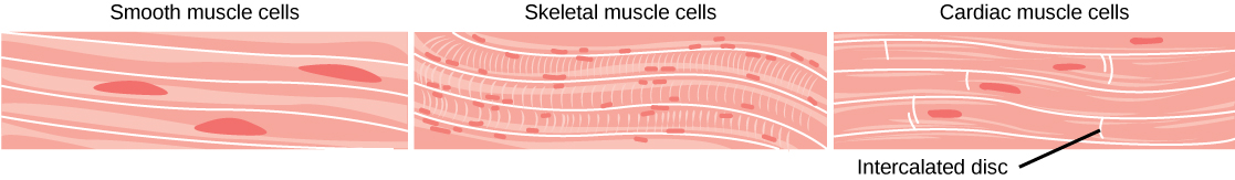 Main Difference - Muscle Cells vs Nerve Cells