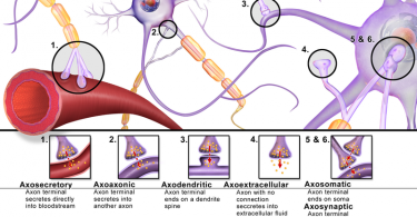 Difference Between Synapse and Synaptic Cleft
