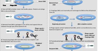 Difference Between Transfection and Transduction