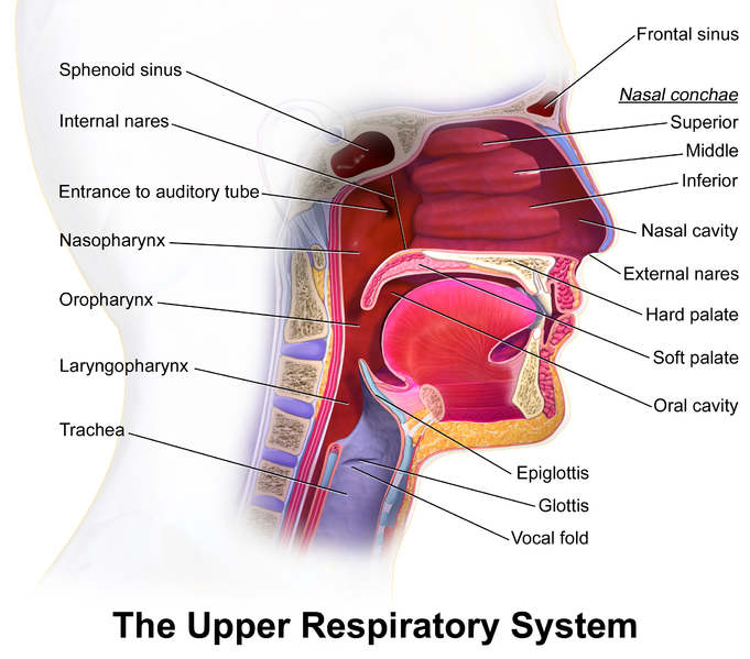 Difference Between Upper and Lower Respiratory Tract | Definition ...