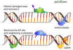 How Can Damaged DNA be Repaired