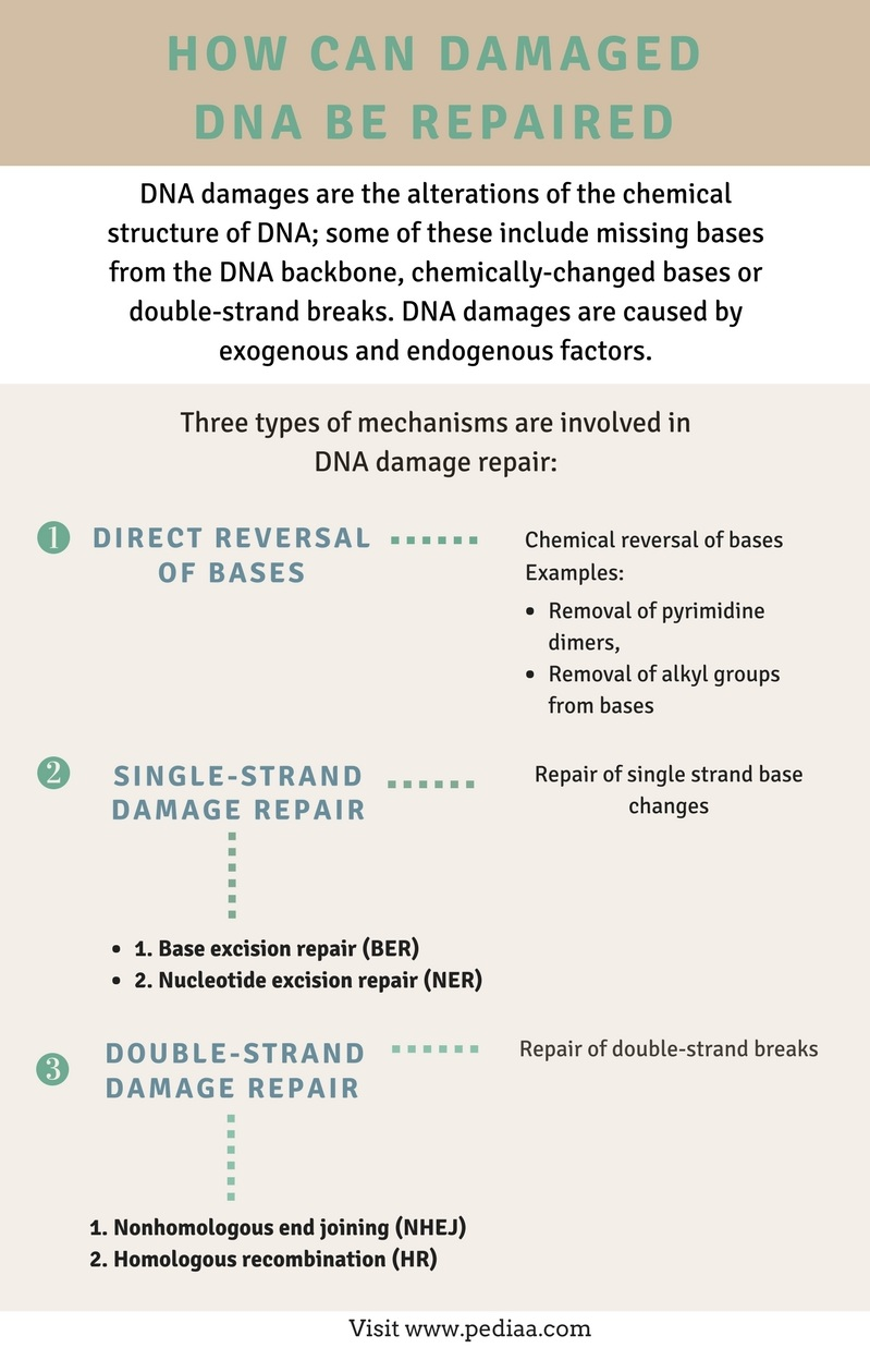 How Can Damaged DNA be Repaired - Infographic