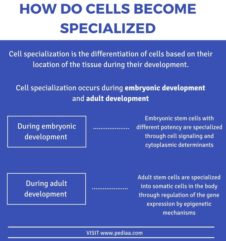 How Do Cells Become Specialized