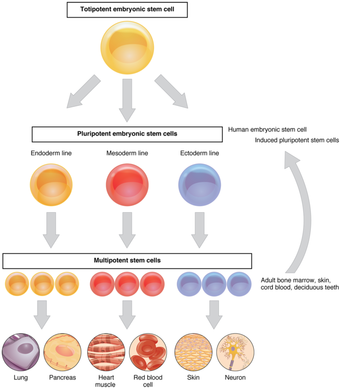 How Do Cytoplasmic Determinants Affect Cell Differentiation